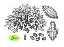 Эскиз чернил дерева и плодов какао бесплатная иллюстрация