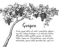 Эскиз чернил виноградного вина бесплатная иллюстрация