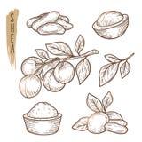 Эскиз элементов дерева ши Комплект вектора ветвей, листьев, гаек и силуэтов масла иллюстрация штока