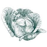 Эскиз llustration вектора капусты vegetable нарисованный рукой Стоковое Фото