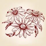 Эскиз llustration вектора маргаритки нарисованный рукой Стоковая Фотография