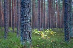 Эстонский сосновый лес в aututmn стоковые изображения