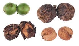 4 этапа созревания грецкого ореха Стоковые Фотографии RF