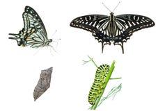 Этапы бабочки   стоковое фото rf