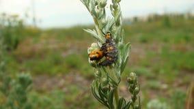 Этапы жизненного цикла ladybug   Личинка стоковое изображение rf