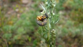 Этапы жизненного цикла ladybug   Личинка стоковое фото rf