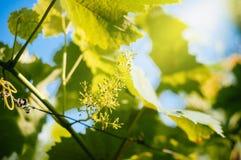 Этап цветеня виноградной лозы Стоковое Изображение
