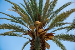 Эта финиковая пальма эндемична в Ла Palma стоковое фото
