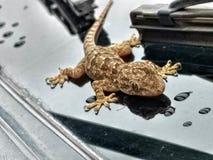 Эта ящерица была на моем свойстве одно после полудня когда я пришел домой Стоковое Фото