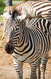 Эти зебры в зоопарке обширном Стоковые Фото