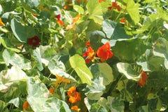 Эти маленькие оранжевые цветки также вкусны стоковая фотография rf