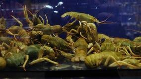 Эти raki, реактор-размножителы которые вырослись для коммерчески распределения Внутри аквариума симуляция естественного видеоматериал