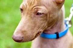 ` Этна Dell Cirneco, сицилийский конец-вверх портрета гончей собаки Стоковая Фотография