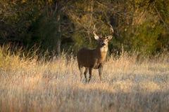 Этот большой самец оленя Whitetail Канзаса искал для ` s лани вдоль линии деревьев в последней осени Стоковое Изображение