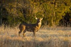 Этот большой самец оленя Whitetail Канзаса искал для ` s лани вдоль линии деревьев в последней осени Стоковые Изображения