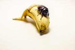 Этот жук есть банан Стоковые Изображения