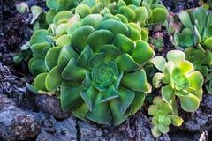 Этот aeonium растет на лаве Ла gomera стоковые изображения rf