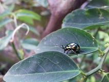Этот Ladybug идет над лист Стоковое Фото