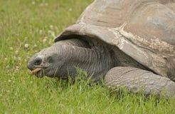 Гигантская черепаха Стоковые Изображения