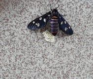 Это изображение насекомого яйцекладки стоковые изображения