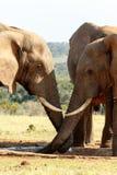 Это моя вода - слон Буша африканца Стоковое фото RF