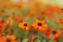 Это оранжевые цветки с оранжевой предпосылкой стоковая фотография