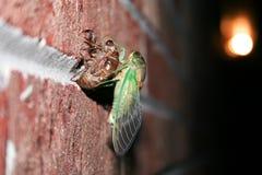 Однолетняя цикада вытекая Стоковая Фотография RF