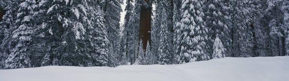Это показывает redwoods гигантской пущи после снежка зимы Внутри лес известное дерево Шермана, самое большое дерево внутри стоковая фотография