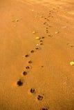 Это след ноги золотого retriever Стоковое Фото