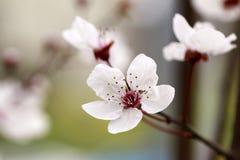 Это увидено в парке Китая южном в цветке груши стоковое фото