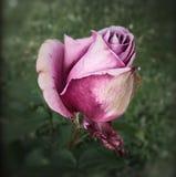 Эфемерная красота Стоковая Фотография RF