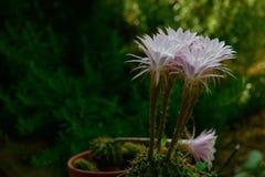 Эфемерные цветки кактуса Стоковые Изображения