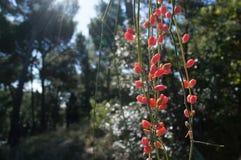Эфедра (sinica эфедры) стоковая фотография rf