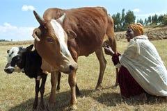 Эфиопская более старая женщина с коровами в засушливом ландшафте стоковое фото