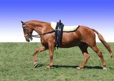 эффектное выступление лошади каштана Стоковое фото RF