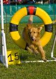 эффектное выступление собаки Стоковое Изображение RF