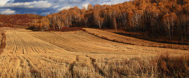 Эффектный пейзаж злаковика Внутренней Монголии Стоковое Изображение RF
