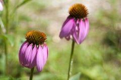 Эхинацея в цветени стоковое фото rf
