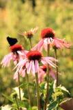 Эхинацея с бабочками Стоковое Изображение