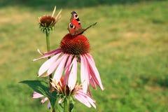 Эхинацея с бабочками Стоковые Фотографии RF