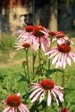 Эхинацея с бабочками Стоковые Фото