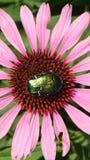 Эхинацея с насекомым Стоковое фото RF