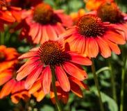 Эхинацея цветет bouqet Стоковая Фотография