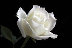 Элегантная белая роза Стоковое Фото