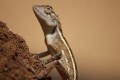 Элегантные гекконовые стоковая фотография