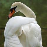 Элегантный белый лебедь на озере Стоковые Изображения RF