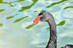 Элегантный черный лебедь на воде Стоковое фото RF