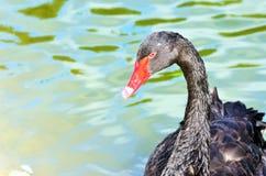 Элегантный черный лебедь на воде Стоковые Изображения