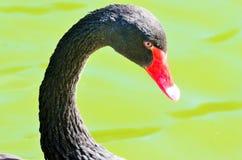 Элегантный черный лебедь на воде Стоковые Фотографии RF