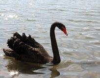 Элегантный черный лебедь с длинной шеей в пруде Стоковые Изображения RF